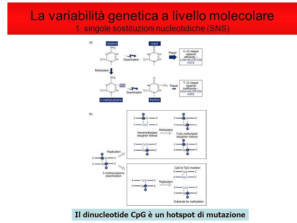 Il dinucleotide CpG è un hotspot di mutazione La variabilità genetica a livello molecolare 1. singole sostituzioni nucleotidiche (SNS)