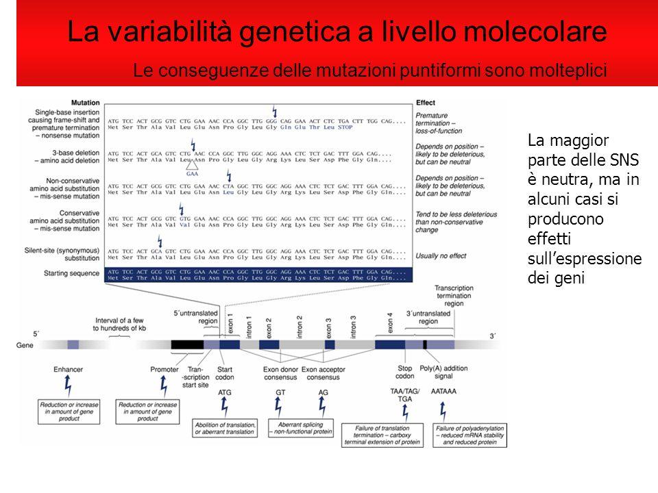 La variabilità genetica a livello molecolare Le conseguenze delle mutazioni puntiformi sono molteplici La maggior parte delle SNS è neutra, ma in alcu