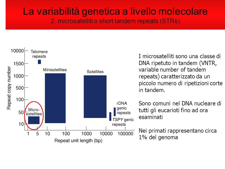 La variabilità genetica a livello molecolare 2. microsatelliti o short tandem repeats (STRs) I microsatelliti sono una classe di DNA ripetuto in tande