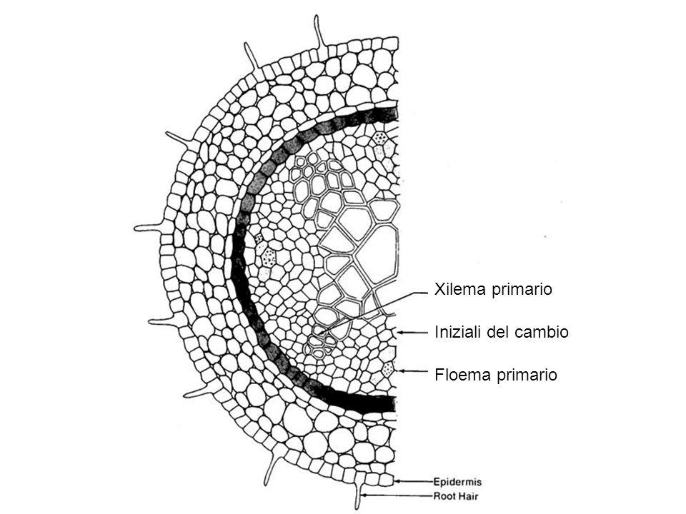 Xilema primario Iniziali del cambio Floema primario