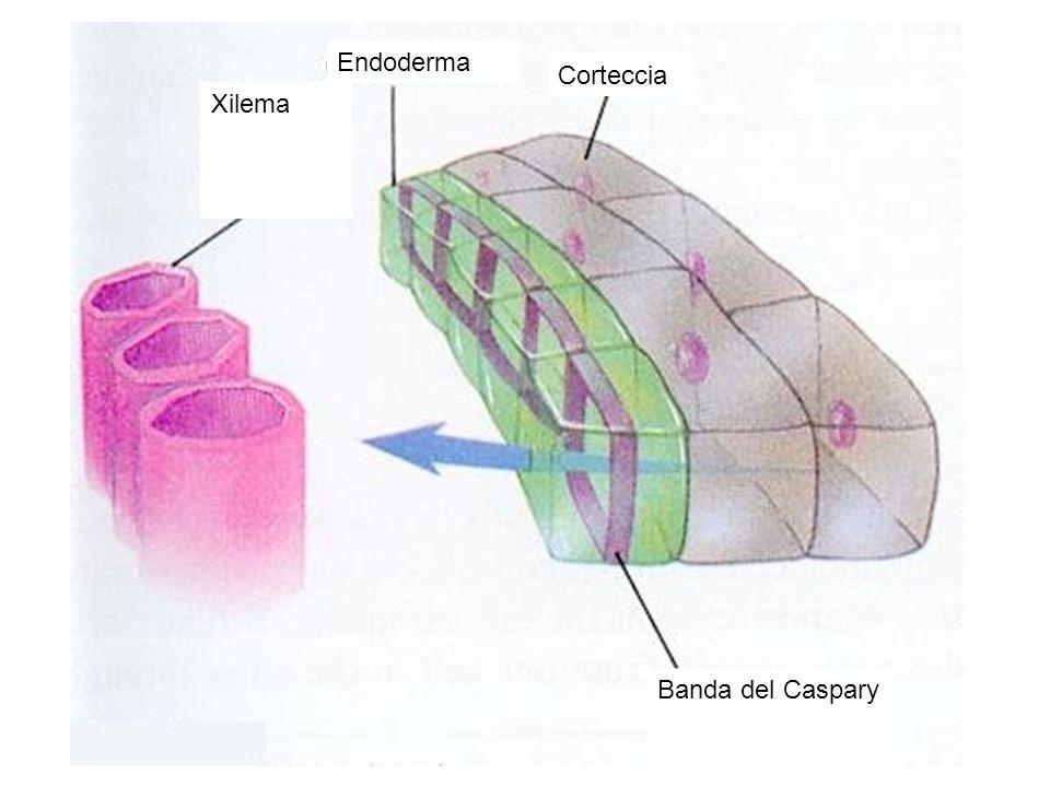 Banda del Caspary Xilema Endoderma Corteccia