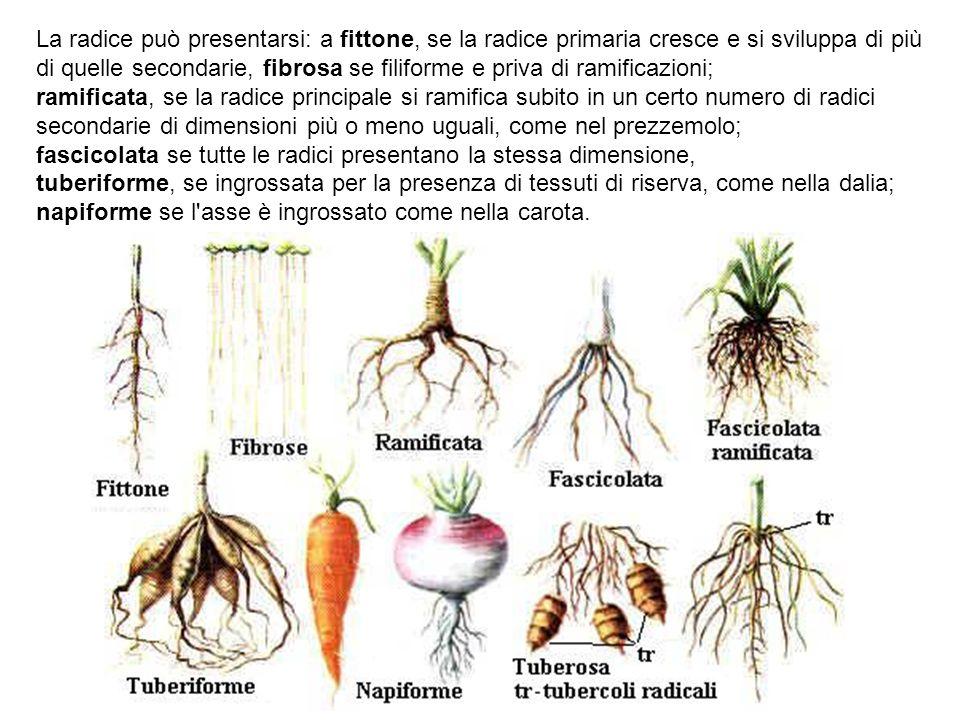 La radice può presentarsi: a fittone, se la radice primaria cresce e si sviluppa di più di quelle secondarie, fibrosa se filiforme e priva di ramifica
