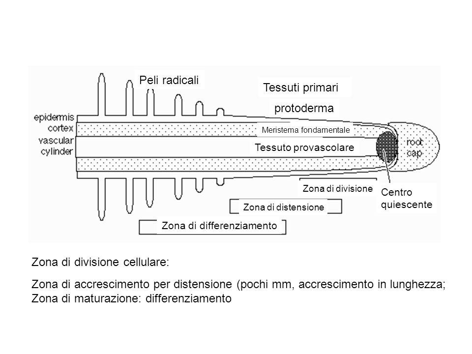 Zona di divisione cellulare: Zona di accrescimento per distensione (pochi mm, accrescimento in lunghezza; Zona di maturazione: differenziamento Peli r