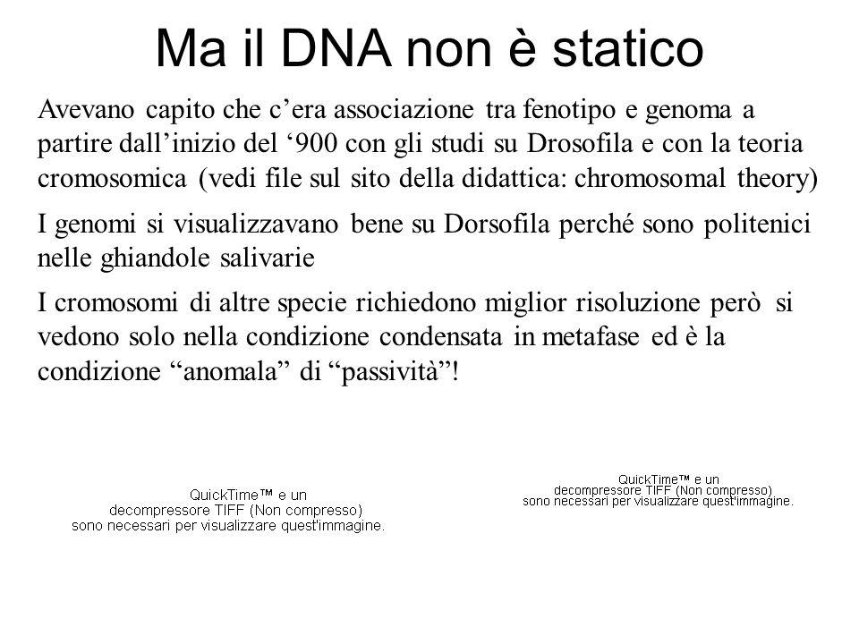 Ma il DNA non è statico Avevano capito che cera associazione tra fenotipo e genoma a partire dallinizio del 900 con gli studi su Drosofila e con la te