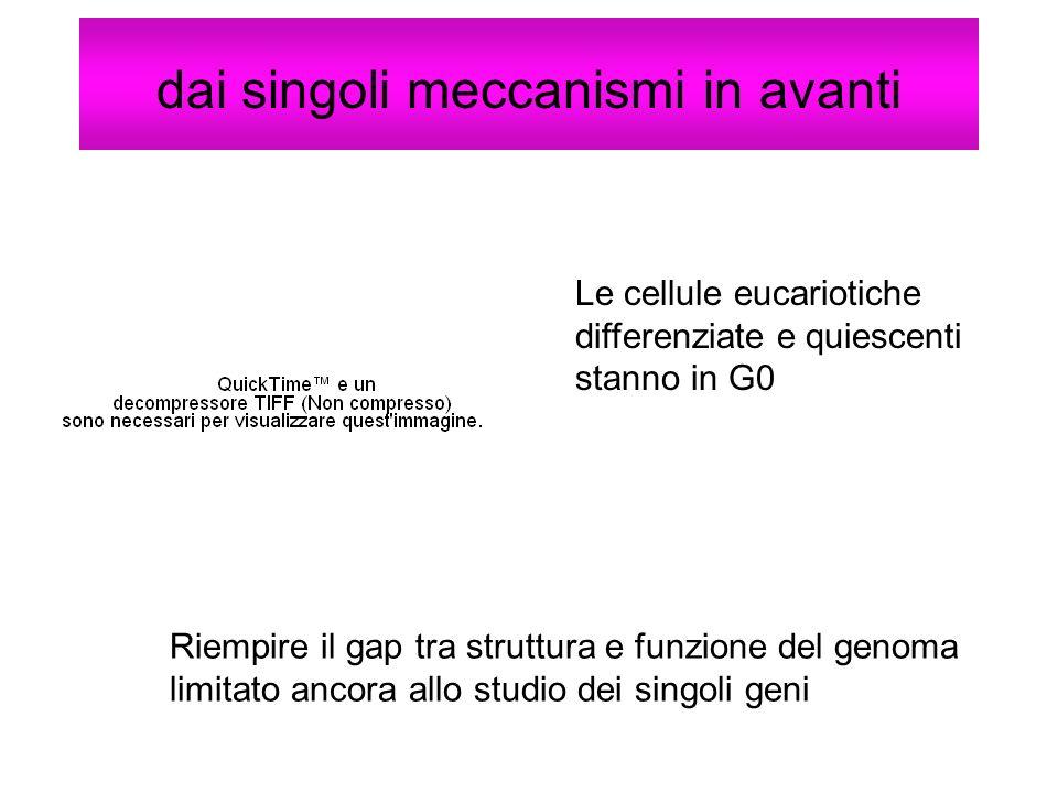 dai singoli meccanismi in avanti Le cellule eucariotiche differenziate e quiescenti stanno in G0 Riempire il gap tra struttura e funzione del genoma l