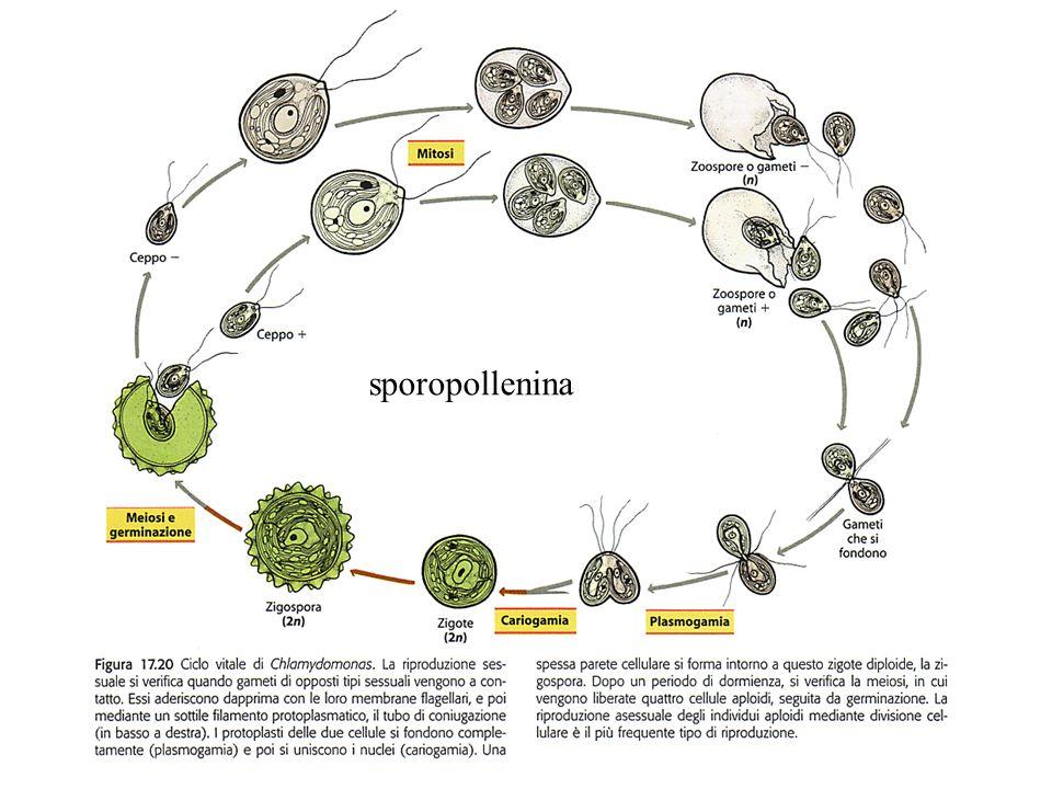 sporopollenina