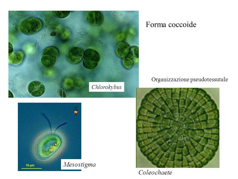 Chlorokybus Forma coccoide Mesostigma Coleochaete Organizzazione pseudotessutale