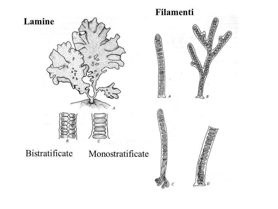 Ulva fasciata Caulerpa flexilis Ulothrix crenulata Acetabularia Classe Ulvophyceae
