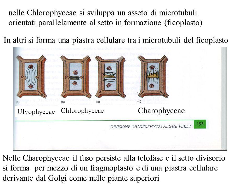 nelle Chlorophyceae si sviluppa un asseto di microtubuli orientati parallelamente al setto in formazione (ficoplasto) In altri si forma una piastra ce