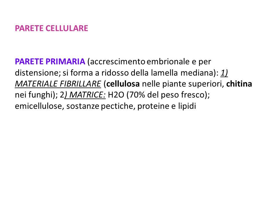 PARETE CELLULARE PARETE PRIMARIA (accrescimento embrionale e per distensione; si forma a ridosso della lamella mediana): 1) MATERIALE FIBRILLARE (cell