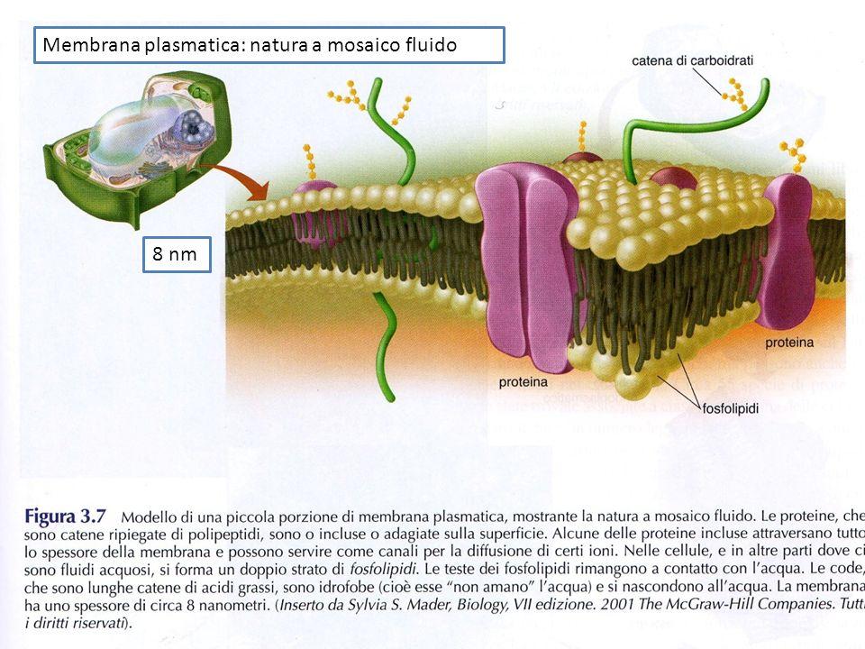 Membrana plasmatica: natura a mosaico fluido 8 nm
