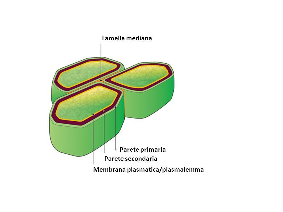 Lamella mediana Parete secondaria Parete primaria Membrana plasmatica/plasmalemma