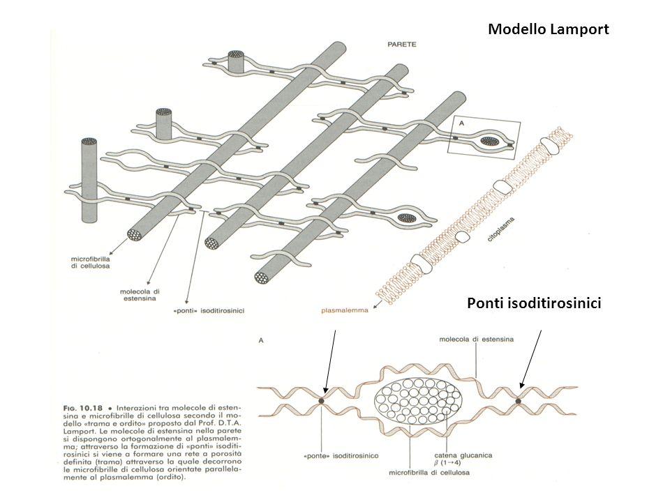 Ponti isoditirosinici Modello Lamport