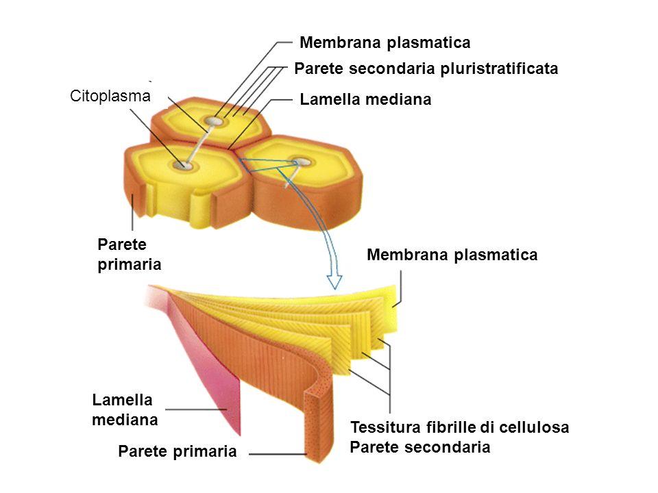 Citoplasma Parete primaria Membrana plasmatica Parete secondaria pluristratificata Lamella mediana Membrana plasmatica Tessitura fibrille di cellulosa