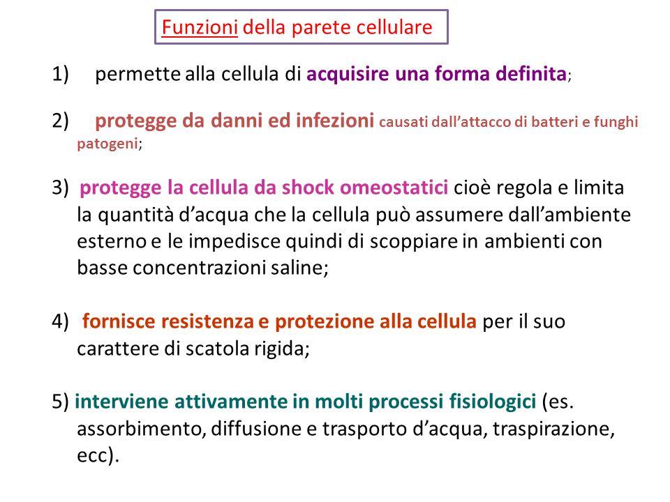 1) permette alla cellula di acquisire una forma definita ; 2) protegge da danni ed infezioni causati dallattacco di batteri e funghi patogeni; 3) prot