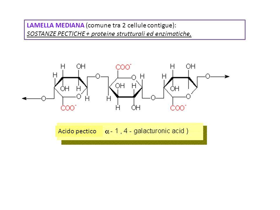 Acido pectico LAMELLA MEDIANA (comune tra 2 cellule contigue): SOSTANZE PECTICHE + proteine strutturali ed enzimatiche,