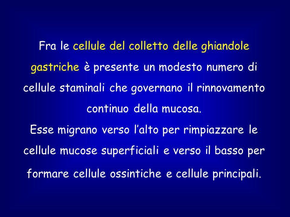 Fra le cellule del colletto delle ghiandole gastriche è presente un modesto numero di cellule staminali che governano il rinnovamento continuo della mucosa.