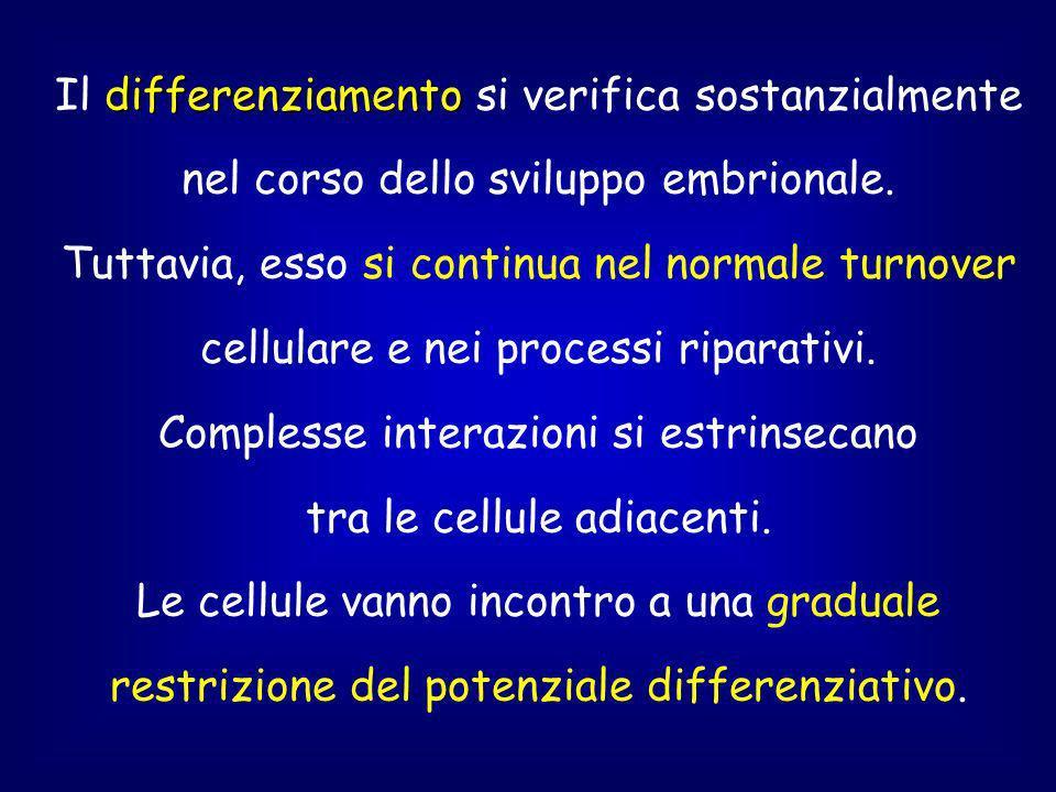 differenziamento Il differenziamento si verifica sostanzialmente nel corso dello sviluppo embrionale.
