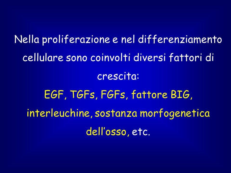 Nella proliferazione e nel differenziamento cellulare sono coinvolti diversi fattori di crescita: EGF, TGFs, FGFs, fattore BIG, interleuchine, sostanza morfogenetica dellosso, etc.