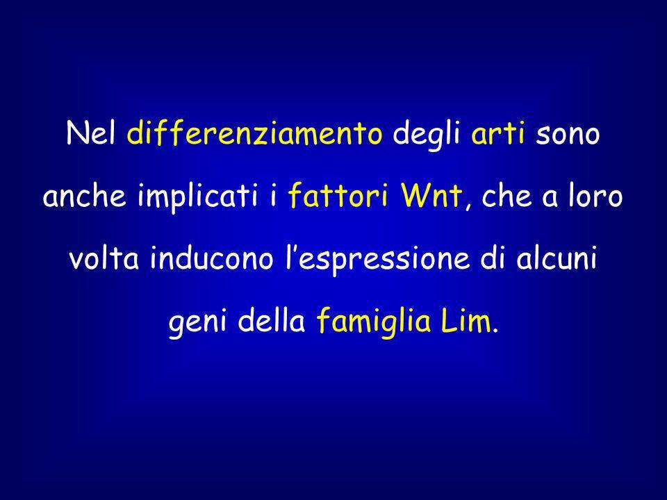 Nel differenziamento degli arti sono anche implicati i fattori Wnt, che a loro volta inducono lespressione di alcuni geni della famiglia Lim.