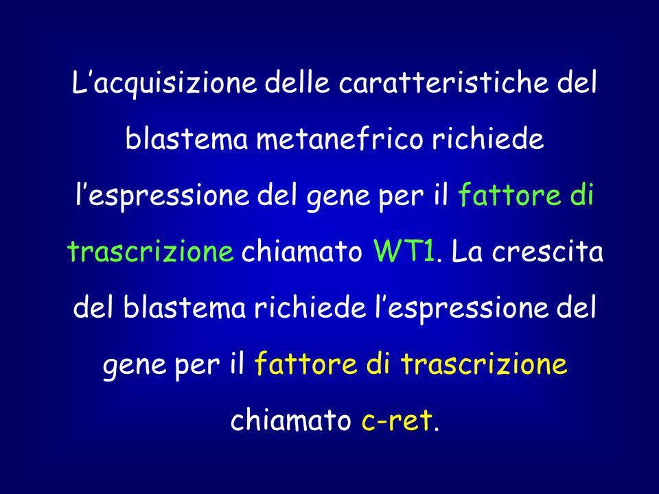 Lacquisizione delle caratteristiche del blastema metanefrico richiede lespressione del gene per il fattore di trascrizione chiamato WT1.