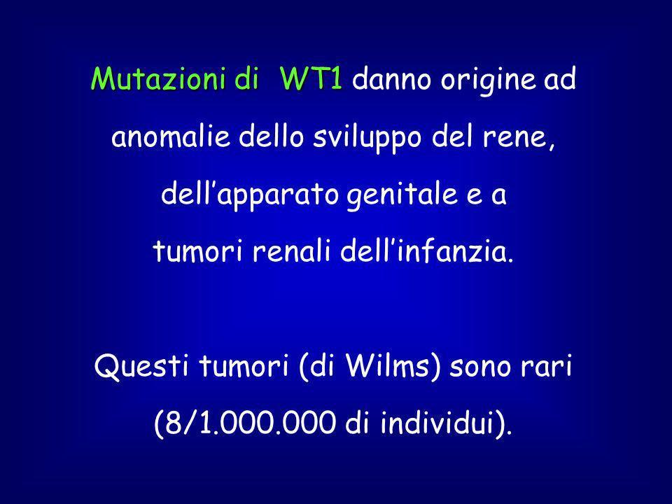 Mutazioni di WT1 Mutazioni di WT1 danno origine ad anomalie dello sviluppo del rene, dellapparato genitale e a tumori renali dellinfanzia.