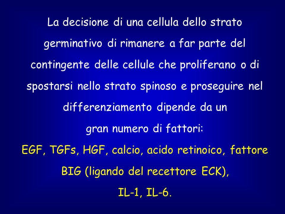 La decisione di una cellula dello strato germinativo di rimanere a far parte del contingente delle cellule che proliferano o di spostarsi nello strato spinoso e proseguire nel differenziamento dipende da un gran numero di fattori: EGF, TGFs, HGF, calcio, acido retinoico, fattore BIG (ligando del recettore ECK), IL-1, IL-6.