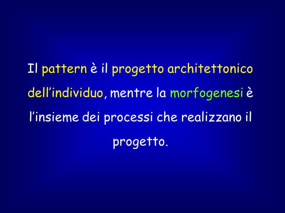 pattern morfogenesi Il pattern è il progetto architettonico dellindividuo, mentre la morfogenesi è linsieme dei processi che realizzano il progetto.