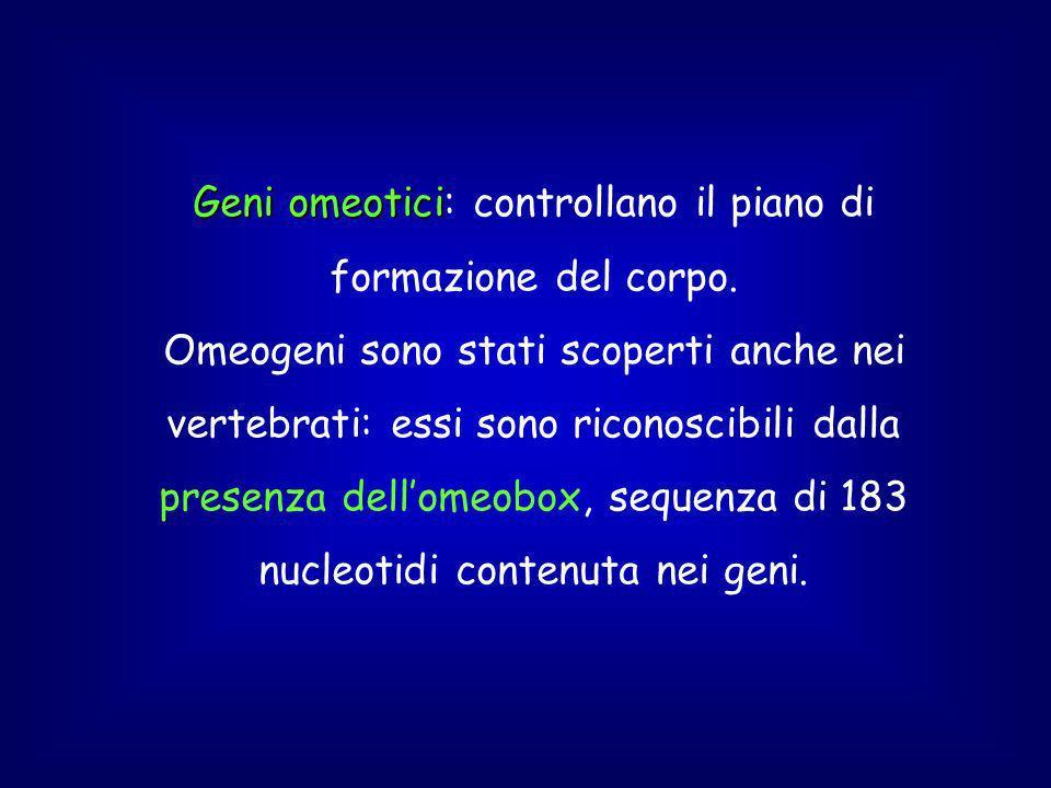 Geni omeotici Geni omeotici: controllano il piano di formazione del corpo.