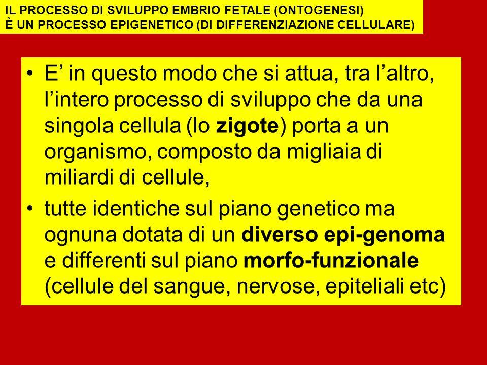 E in questo modo che si attua, tra laltro, lintero processo di sviluppo che da una singola cellula (lo zigote) porta a un organismo, composto da migliaia di miliardi di cellule, tutte identiche sul piano genetico ma ognuna dotata di un diverso epi-genoma e differenti sul piano morfo-funzionale (cellule del sangue, nervose, epiteliali etc) IL PROCESSO DI SVILUPPO EMBRIO FETALE (ONTOGENESI) È UN PROCESSO EPIGENETICO (DI DIFFERENZIAZIONE CELLULARE)