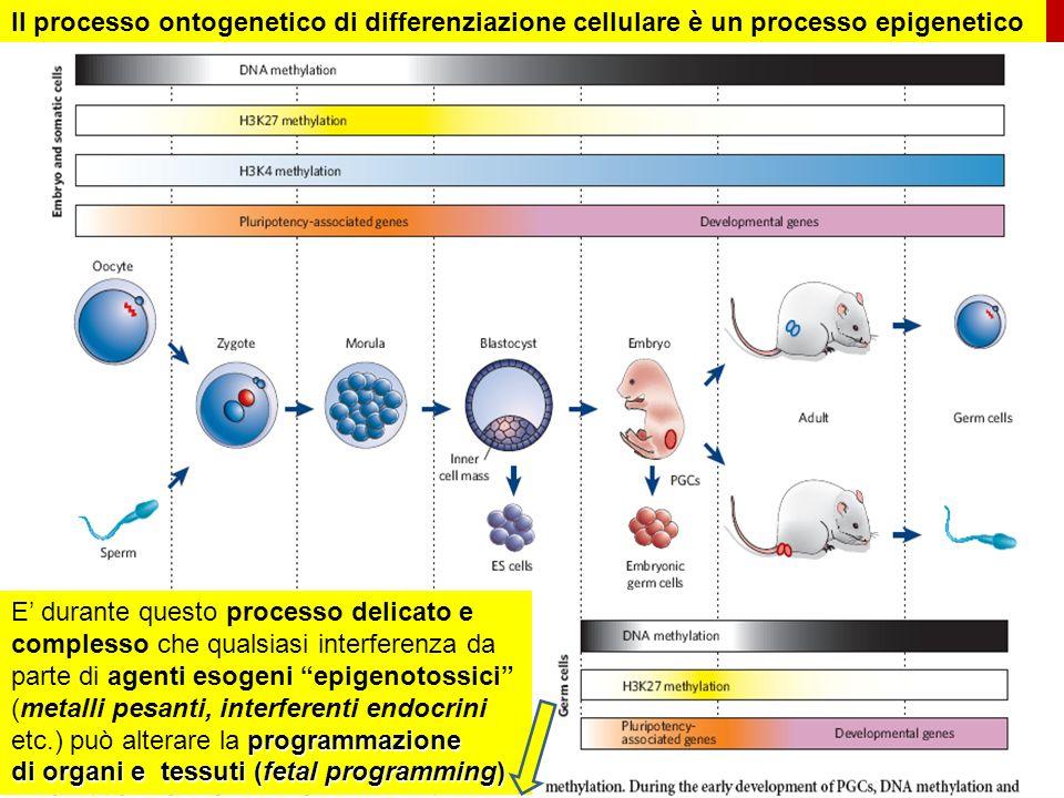 Fetal Programming Differentiation epi-mutations Il processo ontogenetico di differenziazione cellulare è un processo epigenetico Gamétogenèse.