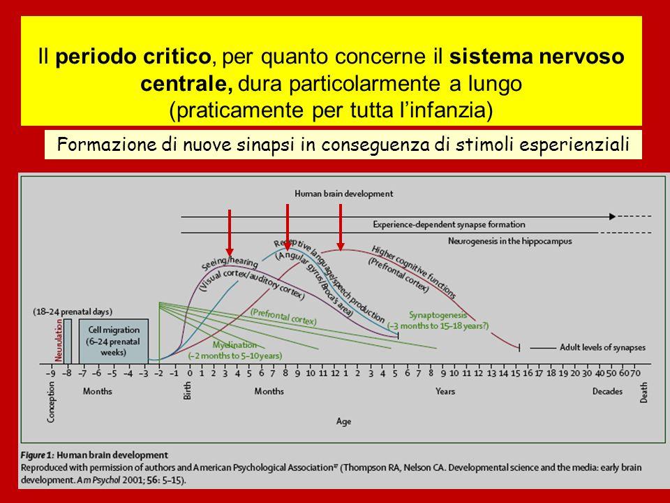 Il periodo critico, per quanto concerne il sistema nervoso centrale, dura particolarmente a lungo (praticamente per tutta linfanzia) Formazione di nuove sinapsi in conseguenza di stimoli esperienziali