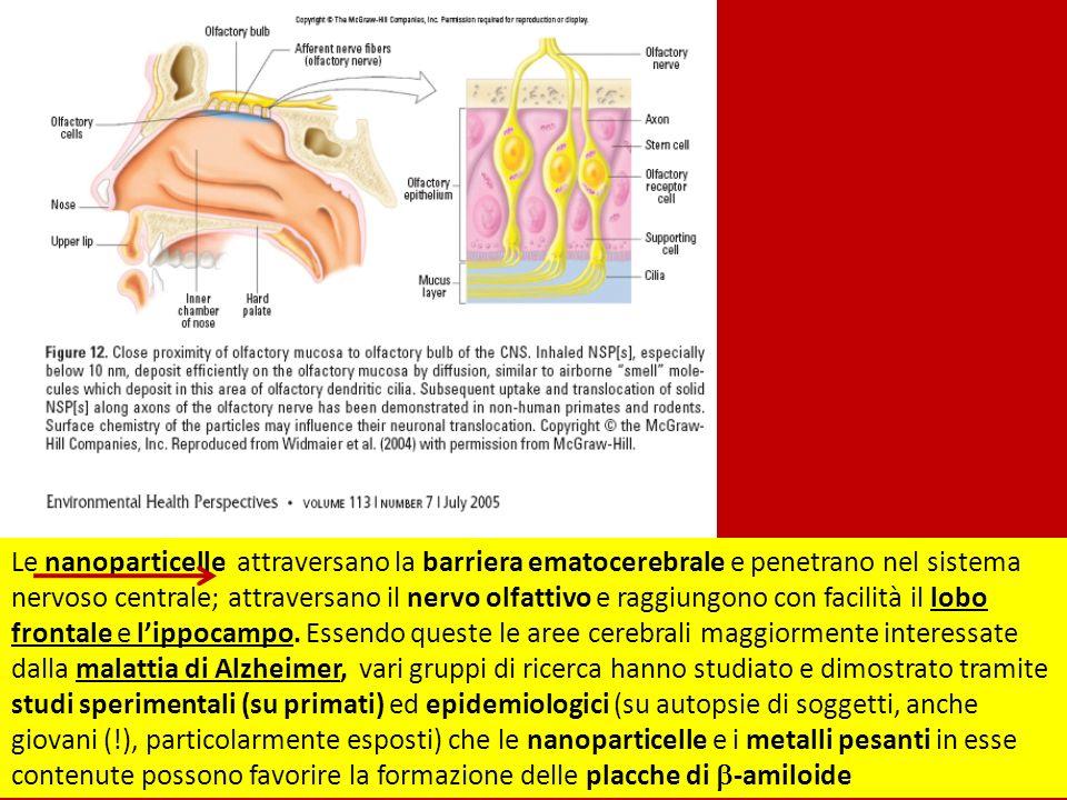 Le nanoparticelle attraversano la barriera ematocerebrale e penetrano nel sistema nervoso centrale; attraversano il nervo olfattivo e raggiungono con facilità il lobo frontale e lippocampo.