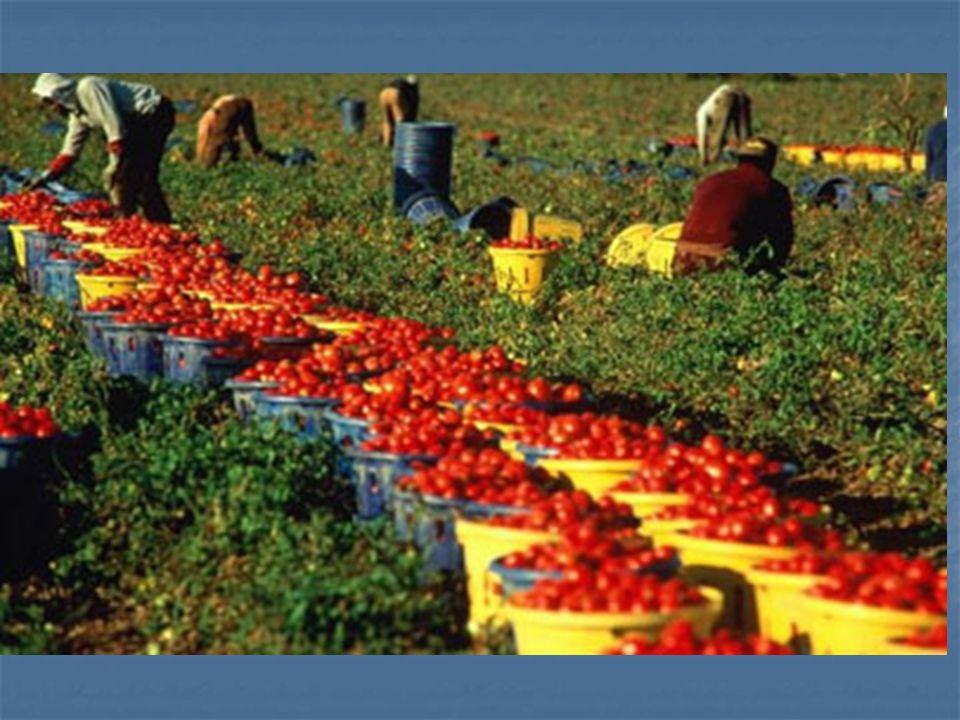 In Calabria … I minori sono impiegati in attività agricole soprattutto nelle raccolte annuali come la vendemmia o la raccolta di ortaggi oppure vengono coinvolti in attività microcriminali sostenute dalla Ndrangheta perché piccoli, veloci e difficili da catturare.