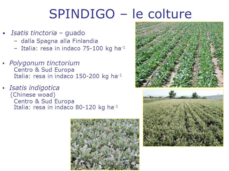 SPINDIGO – le colture Isatis tinctoria – guado –dalla Spagna alla Finlandia –Italia: resa in indaco 75-100 kg ha -1 Polygonum tinctorium Centro & Sud