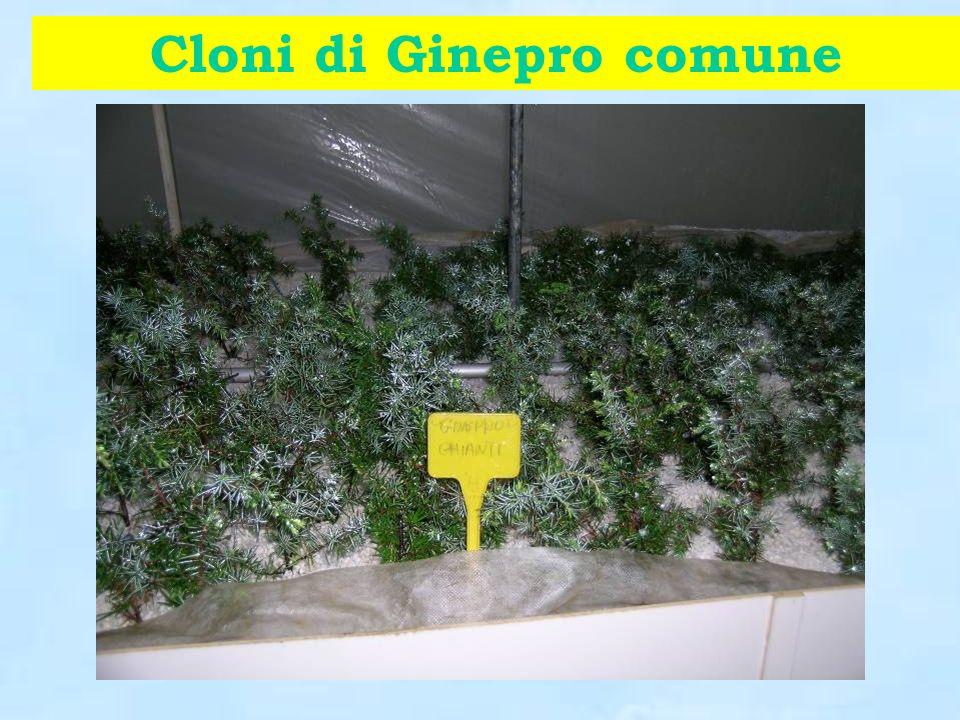 Cloni di Ginepro comune