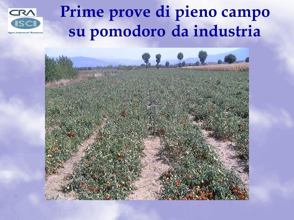 Prime prove di pieno campo su pomodoro da industria