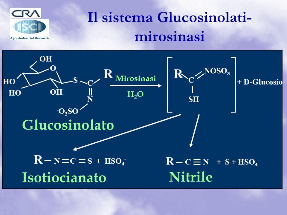 + D-Glucosio HO OH O S C R N - O 3 SO R C NOSO 3 -- SH Mirosinasi H2OH2O R C N + S + HSO 4 - R N C S + HSO 4 - Nitrile Isotiocianato Glucosinolato Il sistema Glucosinolati- mirosinasi