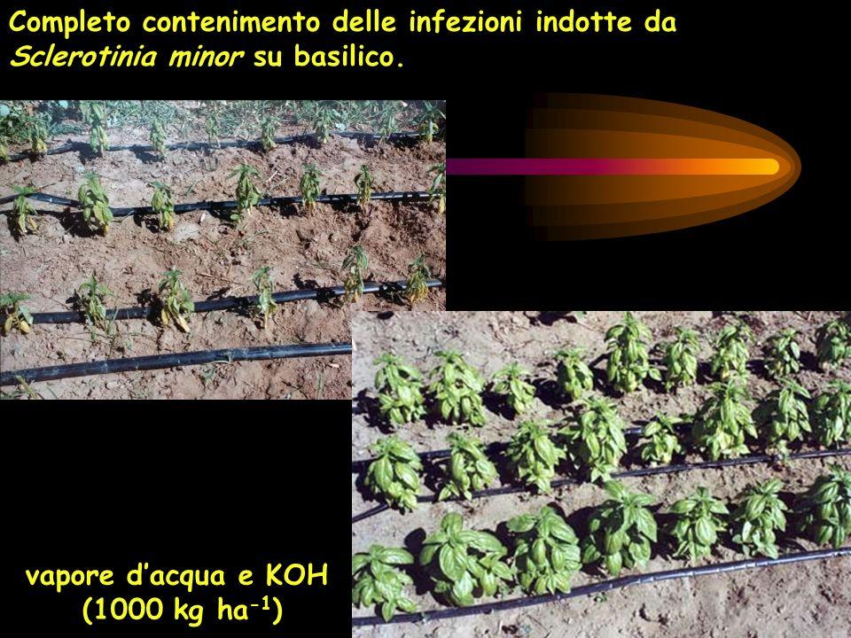 vapore dacqua e KOH (1000 kg ha -1 ) Completo contenimento delle infezioni indotte da Sclerotinia minor su basilico.