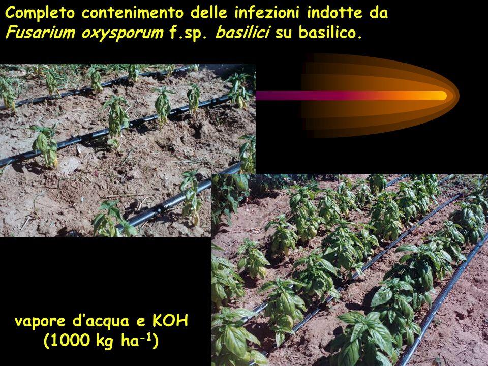 vapore dacqua e KOH (1000 kg ha -1 ) Completo contenimento delle infezioni indotte da Fusarium oxysporum f.sp. basilici su basilico.