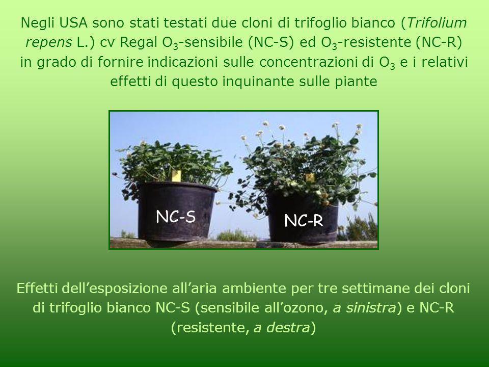 Negli USA sono stati testati due cloni di trifoglio bianco (Trifolium repens L.) cv Regal O 3 -sensibile (NC-S) ed O 3 -resistente (NC-R) in grado di