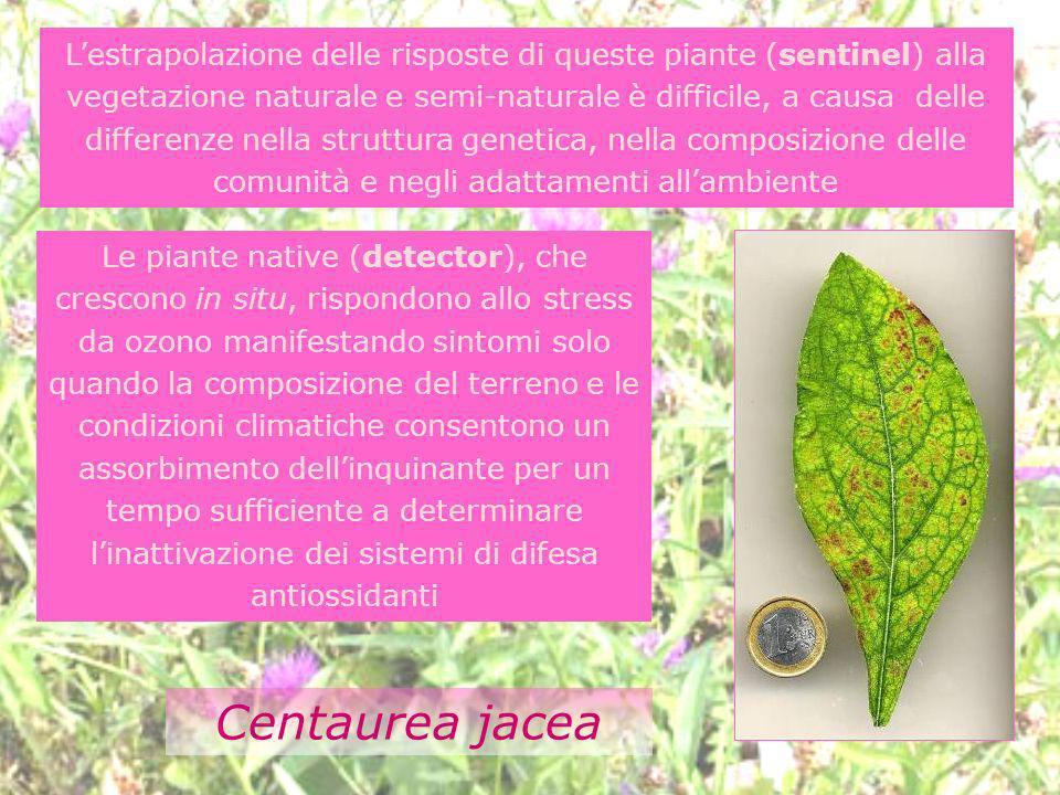 Le piante native (detector), che crescono in situ, rispondono allo stress da ozono manifestando sintomi solo quando la composizione del terreno e le c