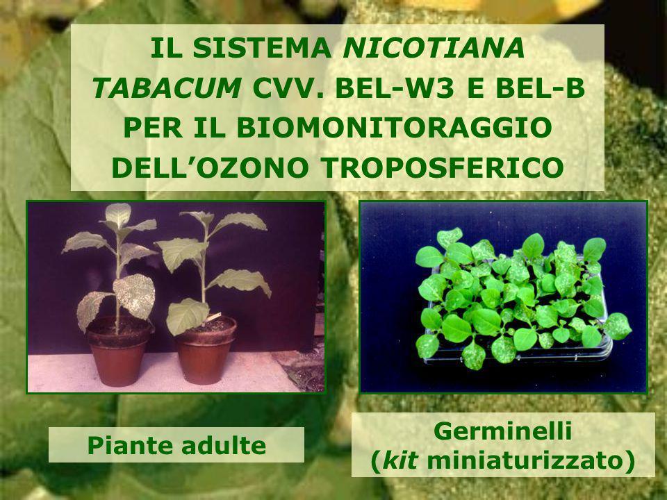 IL SISTEMA NICOTIANA TABACUM CVV. BEL-W3 E BEL-B PER IL BIOMONITORAGGIO DELLOZONO TROPOSFERICO Germinelli (kit miniaturizzato) Piante adulte
