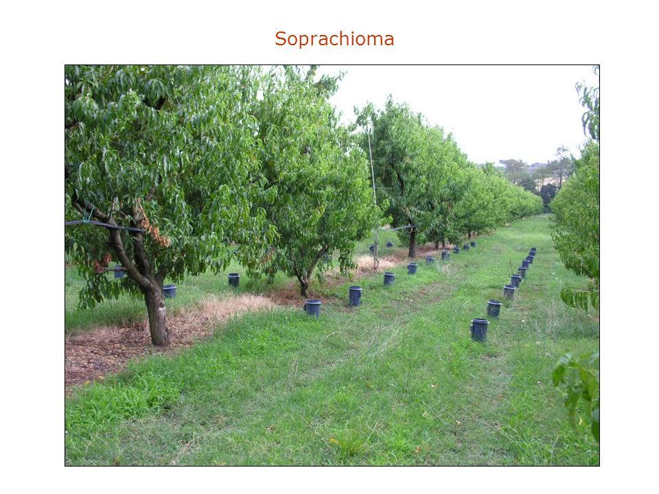 Soprachioma