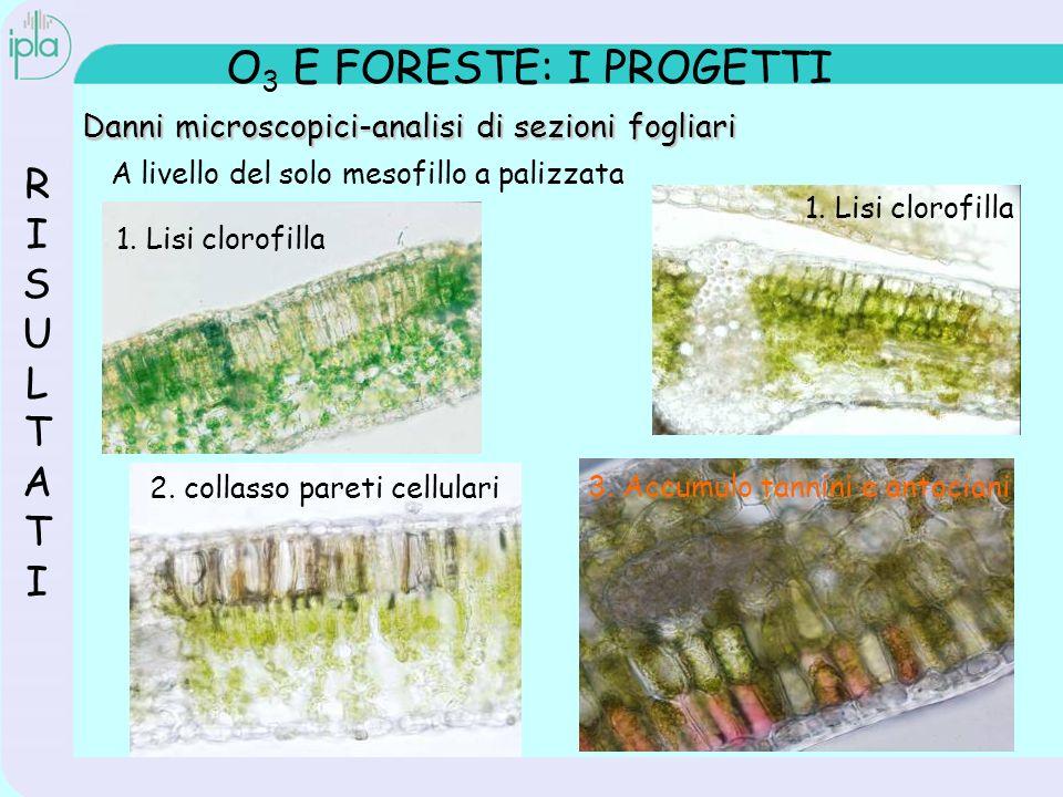 O 3 E FORESTE: I PROGETTI RISULTATIRISULTATI Danni microscopici-analisi di sezioni fogliari A livello del solo mesofillo a palizzata 1.