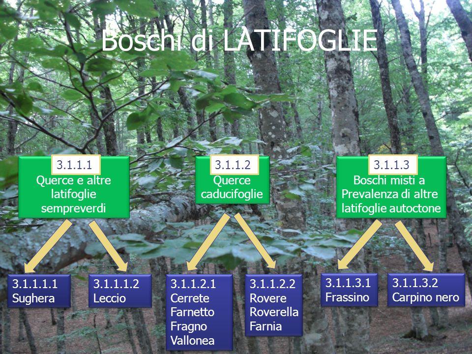 Boschi di LATIFOGLIE 3.1.1.1.1 Sughera 3.1.1.1.1 Sughera 3.1.1.1.2 Leccio 3.1.1.1.2 Leccio 3.1.1.1 Querce e altre latifoglie sempreverdi 3.1.1.1 Querc