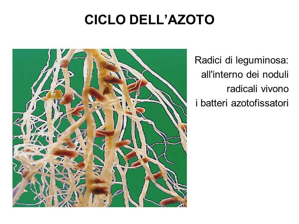 CICLO DELLAZOTO Radici di leguminosa: all interno dei noduli radicali vivono i batteri azotofissatori