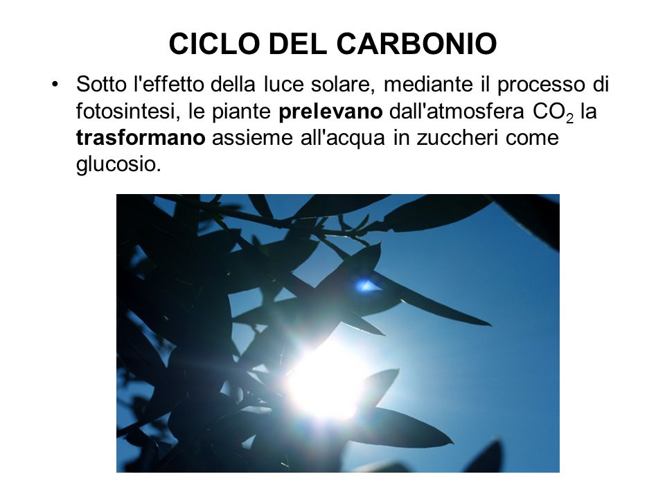 CICLO DEL CARBONIO Sotto l effetto della luce solare, mediante il processo di fotosintesi, le piante prelevano dall atmosfera CO 2 la trasformano assieme all acqua in zuccheri come glucosio.