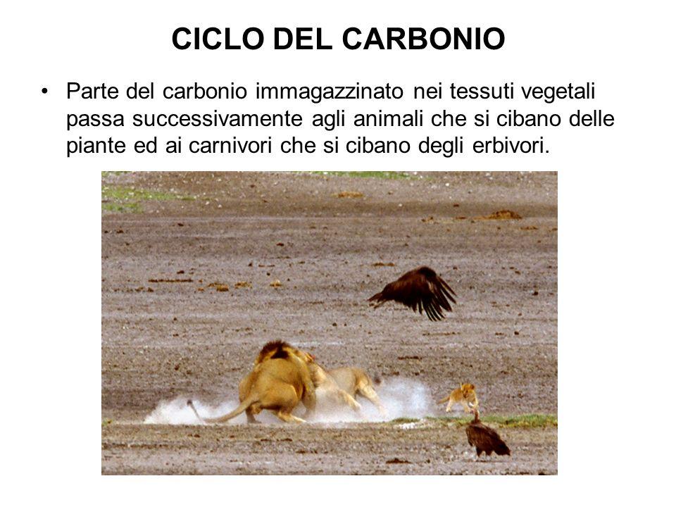 CICLO DEL CARBONIO Parte del carbonio immagazzinato nei tessuti vegetali passa successivamente agli animali che si cibano delle piante ed ai carnivori che si cibano degli erbivori.