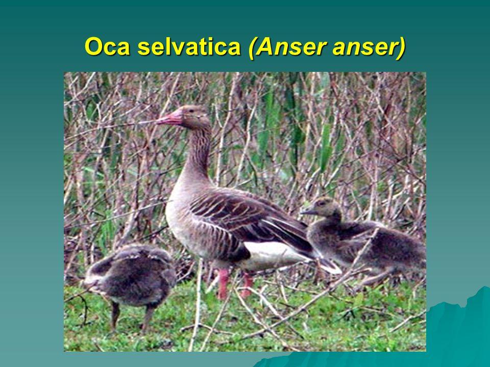 Oca selvatica (Anser anser)